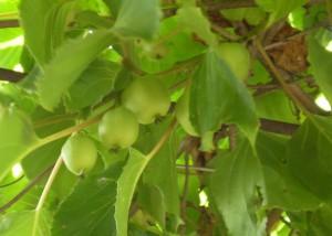 Актинидия Аргута -очень морозостойкий сорт.Зацветает позже актинидии колломикта.И еслипопадает под заморозки ,то урожай всеравно остаётся.