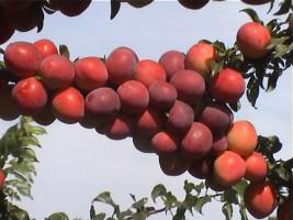 cherryplum1