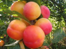 cherryplum3