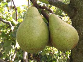 pear11