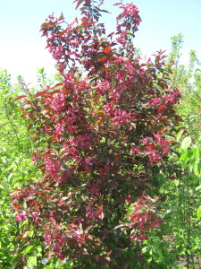 Декоративная яблоня Роялти . Красный лист остаётся до морозов.